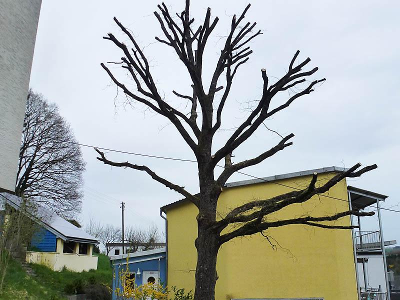 Ganz und zu Extrem Baumschnitt, Heckenschnitt - Kaiserslautern,Lauterecken,Meisenheim @NL_16